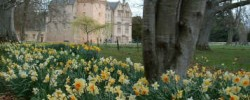 Daffodils in Scotland