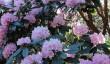 endsleigh-rhododendrons.jpg