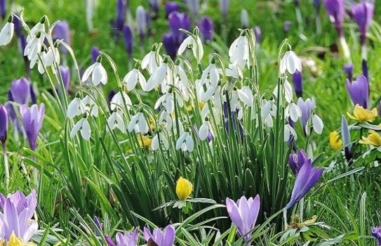Lacock Abbey Snowdrops