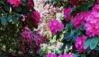 lydney-park-rhododendrons.jpg