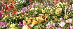 National Dahlia Collection, Penzance