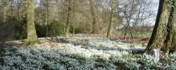 Evenley Wood Snowdrops