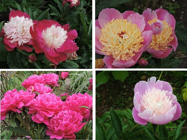 where-to-see-peonies