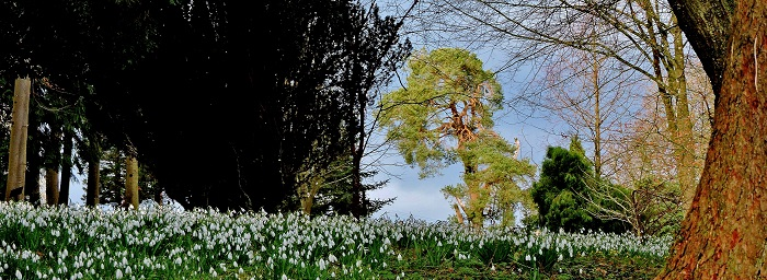 Snowdrops at Colesbourne Park